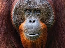 Secrets of orangutan 'language' uncovered - BBC Science Focus Magazine