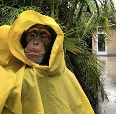 Is ever going to stop raining | Chimp, Chimpanzee, Rain